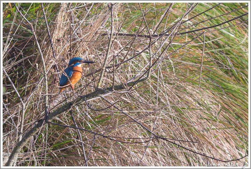 martin pêcheur sur une branche