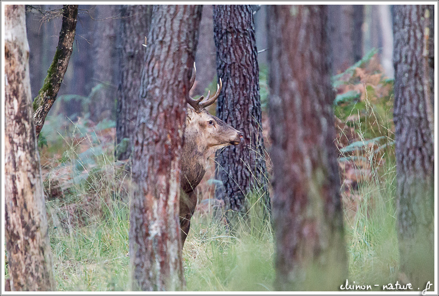 brame en forêt